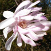 Picture of Magnolia Stellata Pink