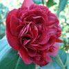 Picture of Camellia Takanini