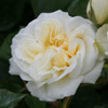 Picture of The Wedding Rose-Rose