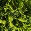 Picture of Thuja Smaragd