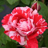 Picture of Twist n Twirl-Rose