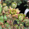 Picture of Viridiflora-Rose