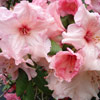 Picture of Rhododendron Virginia Richards