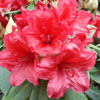 Picture of Rhododendron Vulcans Flame
