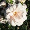 Picture of Wedding Bells Clg-Rose