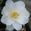 Picture of Camellia White Hibiscus