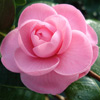 Picture of Camellia Wilamina