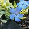 Picture of Vinca Blue Sapphire