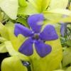 Picture of Vinca Blue