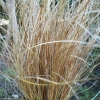 Picture of Carex Comans Bronze