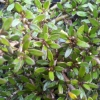 Picture of Coprosma Taiko