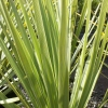 Picture of Cordyline Australis