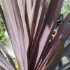 Picture of Cordyline Midnight Star