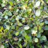 Picture of Muehlenbeckia Axillaris