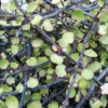 Picture of Muehlenbeckia Complexa