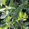Picture of Olea Leccino