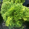 Picture of Chamaecyparis Obtusa Nana