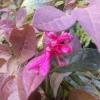 Picture of Loropetalum Razzleberry