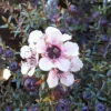 Picture of Leptospermum Nanum Tui