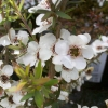 Picture of Leptospermum Wiri Susan
