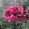 Picture of Leptospermum Wiri Joan