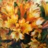 Picture of Alstroemeria Bryce