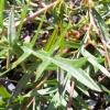 Picture of Grevillea Bronze Rambler