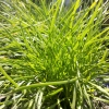 Picture of Lomandra Little Con