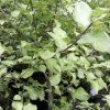 Picture of Pittosporum Wrinkle Blue