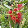 Picture of Callistemon Red Cluster
