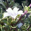 Picture of Serissa Snowflake