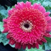 Picture of Gerbera Florist Patio Olympics