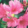 Picture of Azalea Amoena