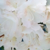 Picture of Azalea Apple Blossom
