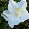 Picture of Azalea Mrs Kint White