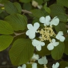 Picture of Viburnum Mariesii