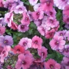 Picture of Nemesia Strawberry Ripple