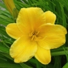 Picture of Hemerocallis Stella Bella