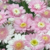 Picture of Daisy Sugar Candy