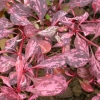 Picture of Berberis Rosy Glow