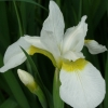 Picture of Iris Crystal Bright