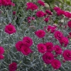 Picture of Dianthus Waterloo Sunset