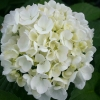 Picture of Hydrangea Bridal Bouquet
