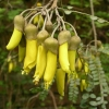 Picture of Sophora Dragons Gold