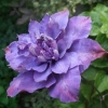 Picture of Clematis Vyvyan Pennell