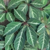 Picture of Parthenocissus Henryana