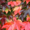 Picture of Parthenocissus Beverly Brooks