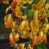 Picture of Pandorea Golden Showers