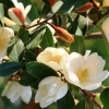 Picture of Michelia Gracipes Std 80 cm