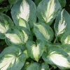 Picture of Hosta Hudson Bay